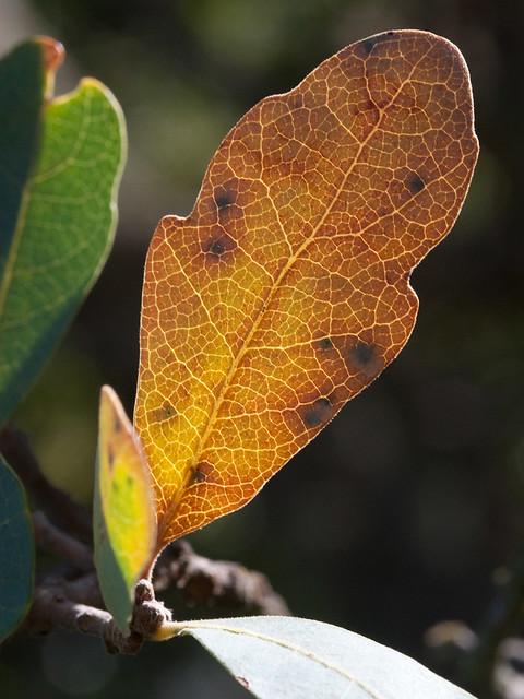 BlueOak_leaf_backlit_5824a