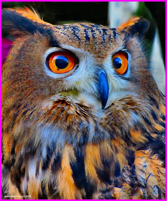 Scotland Greenock a fearsome forest owl 3 January 2015 by Anne MacKay