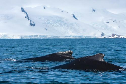 Sperm Whale Encounter off Yankee Harbour,Greenwich Island, Antarctica | by Outward_bound