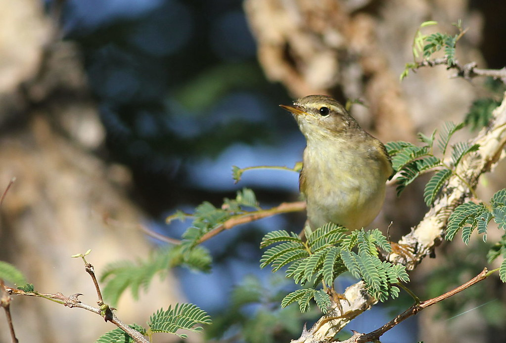 Willow warbler, Phylloscopus trochilus, at Marakele National Park, Limpopo, South Africa