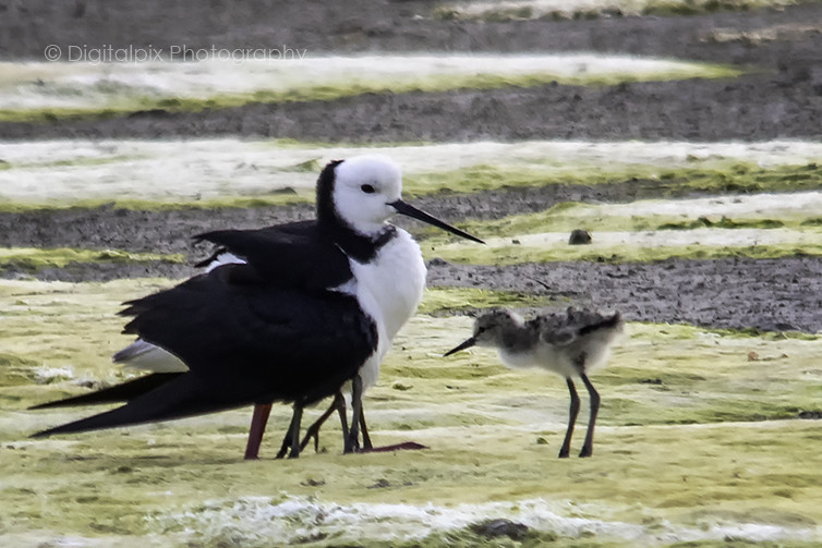 Pied Stilt mother and chicks