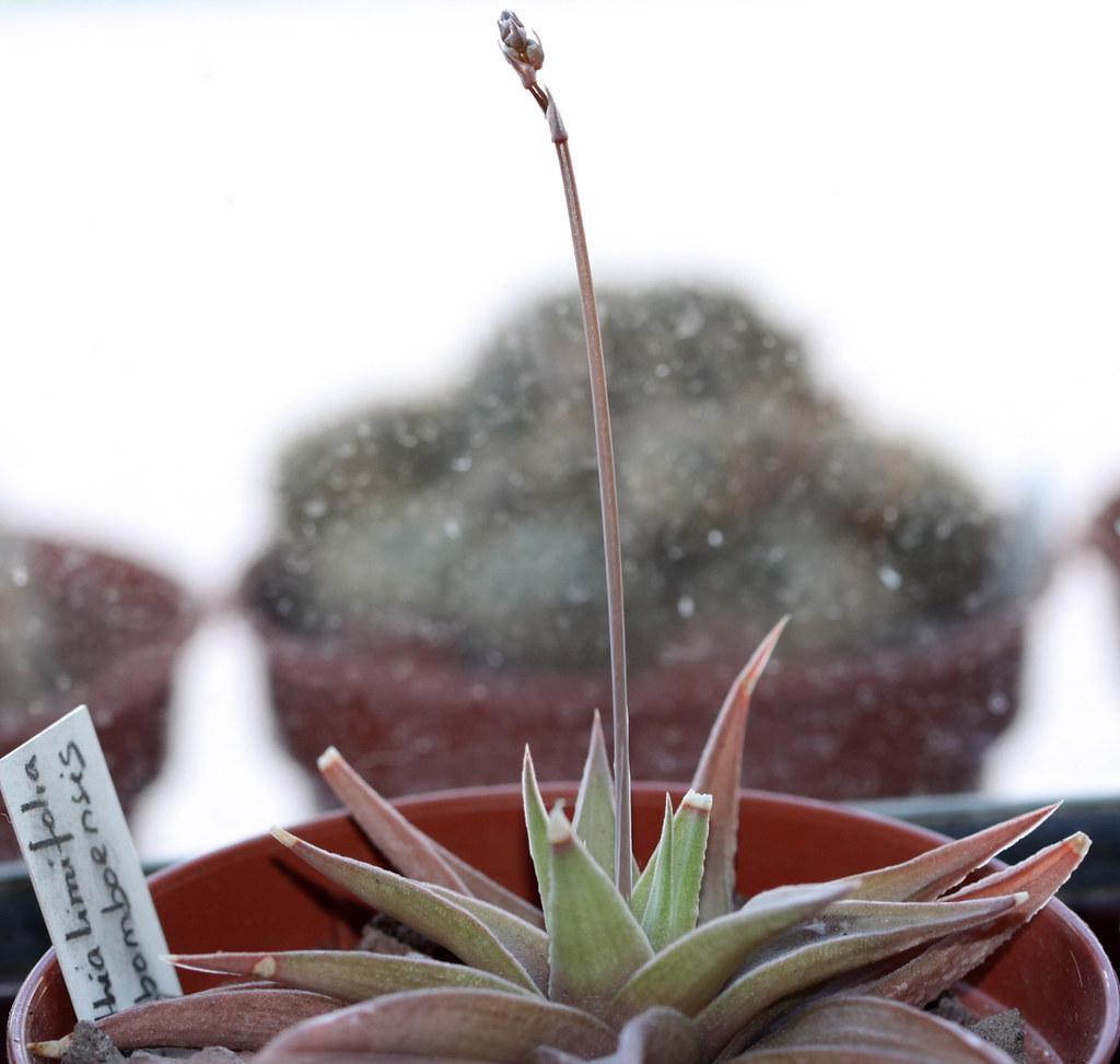 PLANTED IN A 8CM POT HAWORTHIA LIMIFOLIA  SUCCULENT