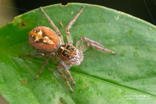 Jumping spider (Frigga cf. pratensis) - DSC_2881