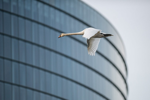 Swan flying in front of the building of the European Parliament | by European Parliament