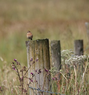 Female Whinchat | by themadbirdlady