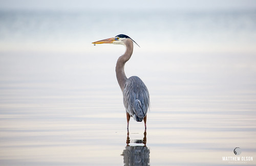 heron blueheron greatblueheron bird birdwatching wildlife florida sunrise animal