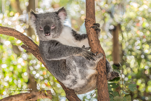 Koala Reclining at the Koala Park Sanctuary, West Pennant Hills, Sydney, Australia by D200-PAUL