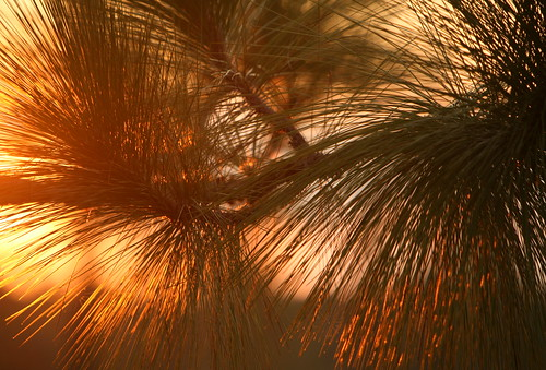 light sunset summer tree lana nature pine botanical backlit endangered gramlich abitasprings tnc thenatureconservancy longleaf canoneos5d sttammanyparish pinuspalustris abitacreekflatwoodspreserve lanagramlich dailynaturetnc14 sept202014