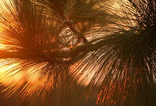 light sunset summer tree lana nature pine botanical backlit endangered gramlich abitasprings tnc thenatureconservancy longleaf canoneos5d sttammanyparish pinuspalustris abitacreekflatwoodspreserve lanagramlich dailynaturetnc14 sept202014