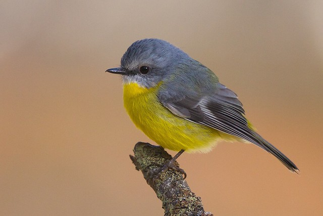 Eastern Yellow Robin at Clakesdale
