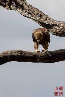 Tawny Eagle eating a snake | by DragonSpeed