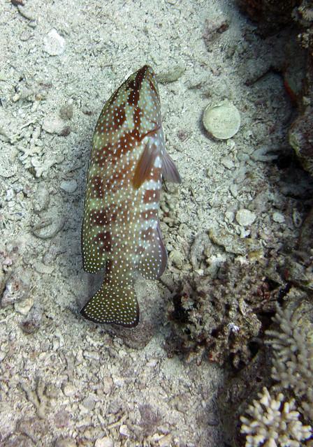 Coral Grouper, Cephalopholis miniatus, Jackson Reef, Tiran, Red Sea