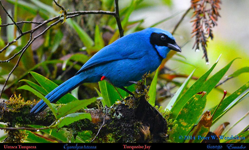 Image result for la urraca azul (Cyanolica armillata).