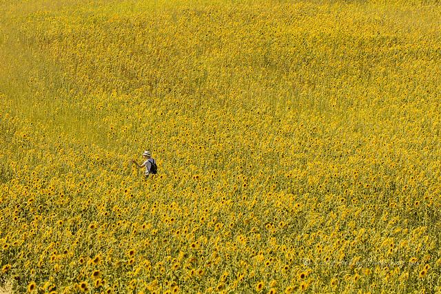 sunflowers! - Provence