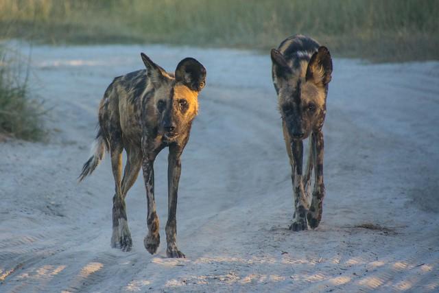 Wild Dogs Alpha Pair