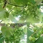 #葡萄#grapes#植物#plant