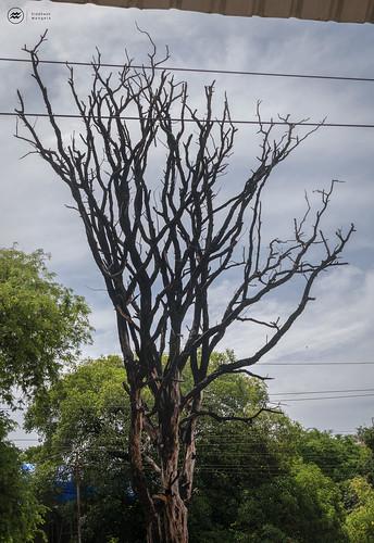sky india tree branches maharashtra in dahanu upwardbranches