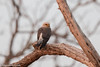 Dickinson's Kestrel (Falco dickinsoni), Liwonde National Park, MW, 2014-09-16--102 by maholyoak