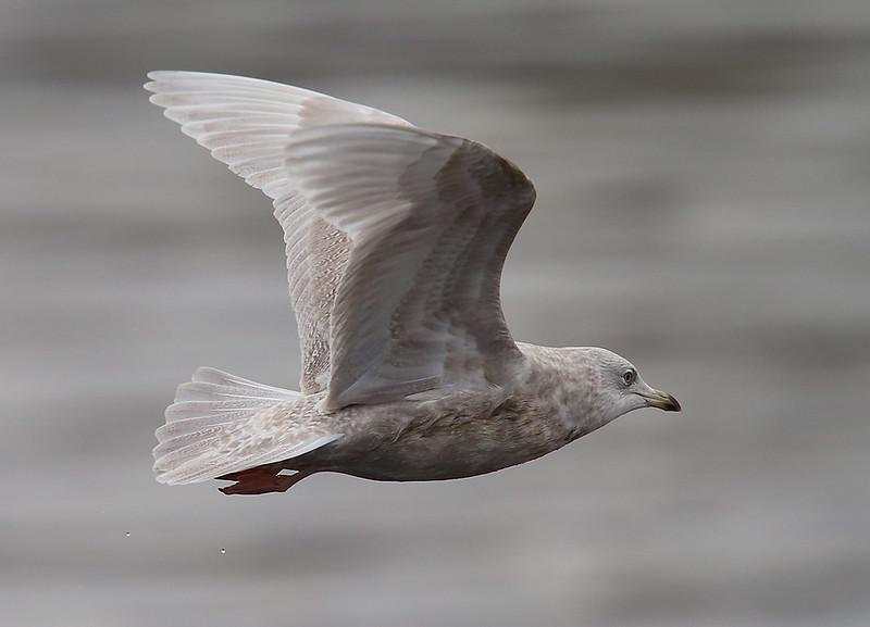 Iceland Gull 2ndw