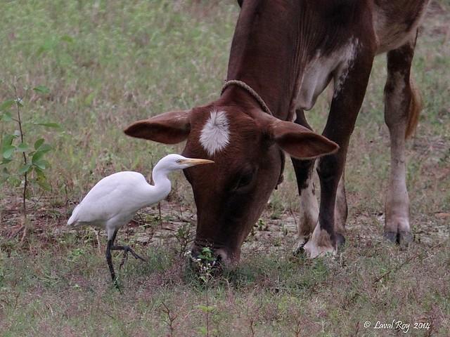 1.02107 Héron garde-boeufs / Bubulcus ibis coromandus / Cattle Egret