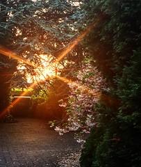 #Sun breaking through the trees at our entrance illuminating the #cherryblossom #sunset #sun #summer #dunlaoghaire #heaven #divine #golden #light #picoftheday #dublin #ireland #tourism #irish