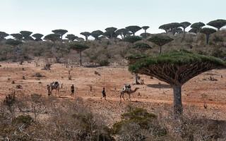 Ile de Socotra_Février 2015_Vers Dixham_Chameliers dans forêt dragonniers. | by Pipaillon