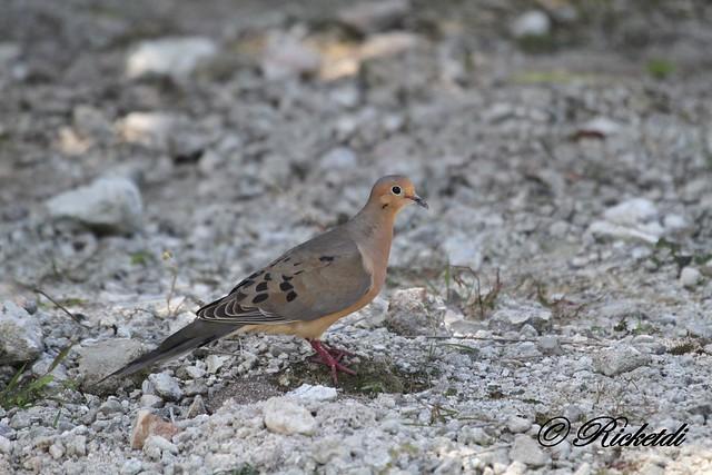 tourterelle triste- mourning dove - Zenaida macroura