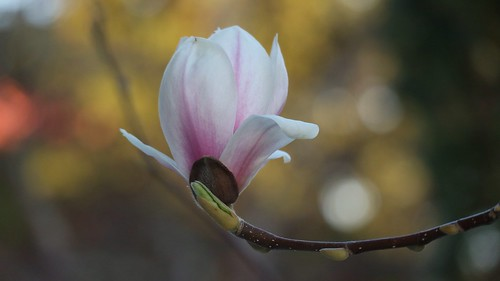 Magnolia time | by Blackpeppereye