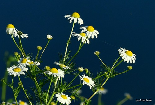 DSC_7914-001  evening light on chamomile flowers at Parco Increa, Brugherio