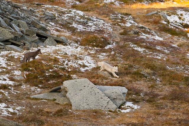 Fjellrev- Arctic fox-09-4.jpg