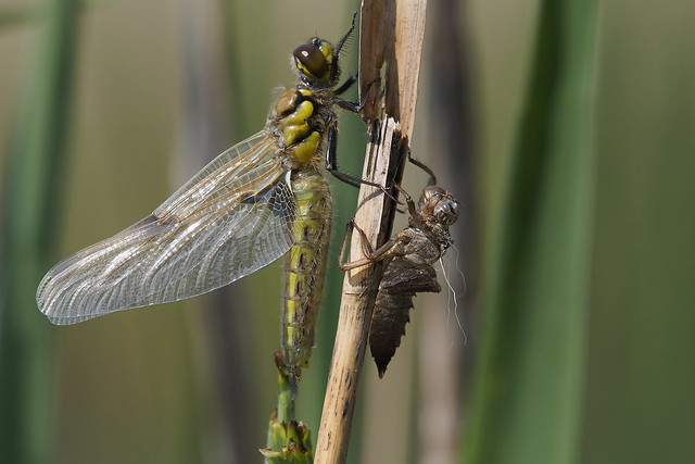 Four spotted chaser 1 - Viervlek 1