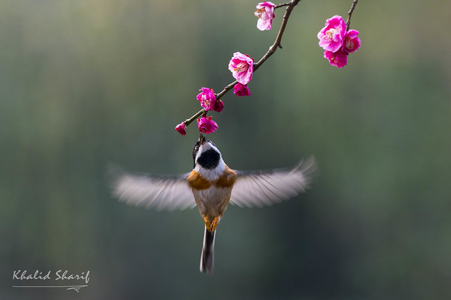 Black Throated Tit (Aegithalos concinnus) 红头长尾矩 hóng tóu cháng wěi jǔ