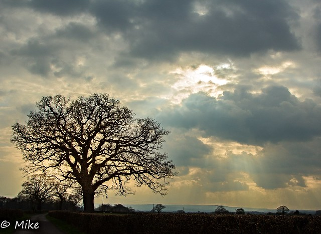 Oak trees at lhe end of the day