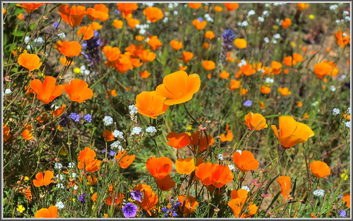 bokeh poppies wildflowers bouquet hdr californiapoppy goldfields