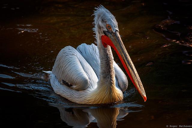 Weltvogelpark Walsrode - Pelikan