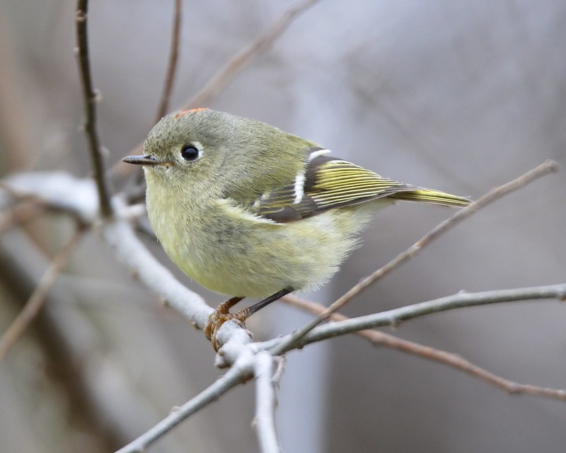 Ruby-crowned Kinglet (explored)