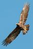 IMG_6211.jpg Golden Eagles, UC Santa Cruz by ldjaffe
