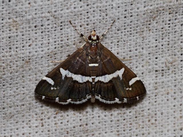 Spoladea recurvalis (Crambidae: Spilomelinae)