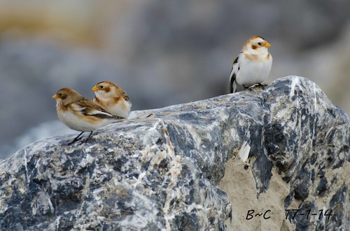 Snow Bunting (Plectrophenax nivalis) | by Brian Carruthers-Dublin-Eire