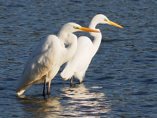 Great Egrets (Ardea alba,ダイサギ) | by Greg Peterson in Japan