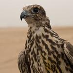 Adult Falcon portrait
