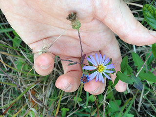 Symphyotrichum patens, Accotink Stream Valley Park, 10:26:14 | by FritzFlohrReynolds