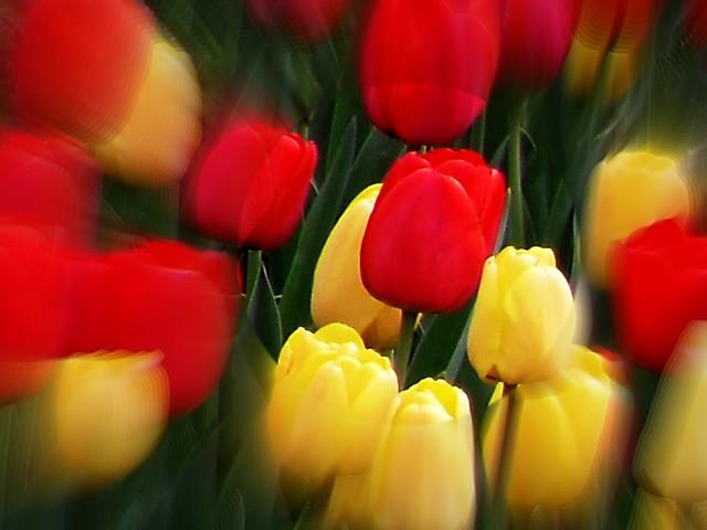 Tulpen- creativ ,  4918