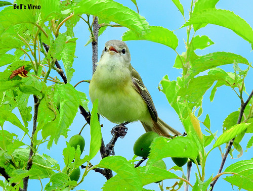 =Vireo-Bell's-NE   by Tricolor Brian
