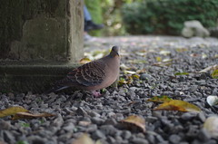 pigeon at Kōtoku-in