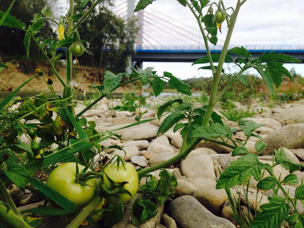 Nadrzeczna plantacja pomidorów / Riverside tomato plantation