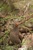 Grey-Breasted Spurfowl by sr667