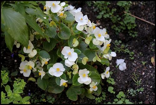 Begonia cucullata (= semperflorens) 22631837845_7d44008d99