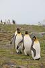 King Penguin (Aptenodytes patagonicus) by Mark Carmody
