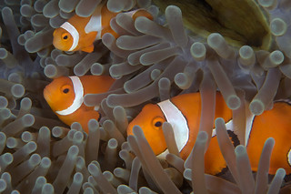 Anemone Fish | by PacificKlaus